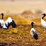 black-necked-cranes-festival-tour