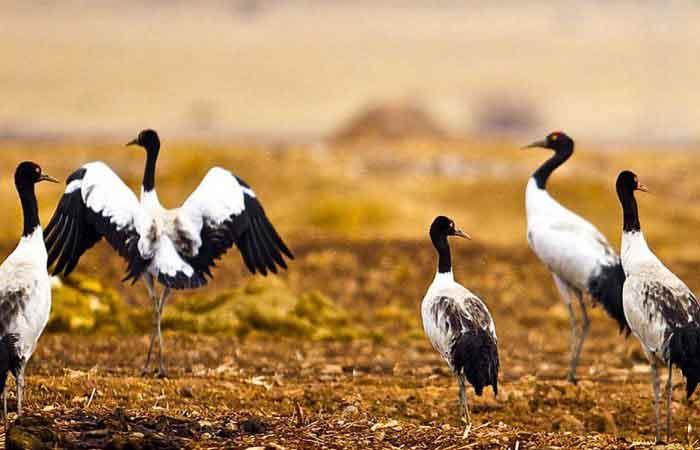 black-necked-cranes-festival-tour